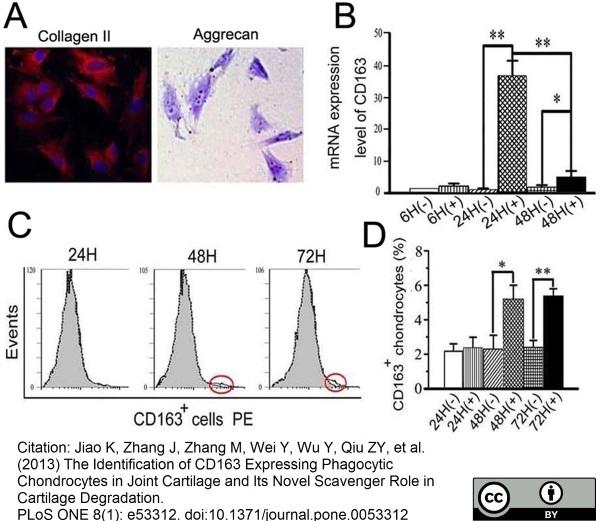 CD163 Antibody | ED2 gallery image 14