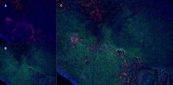 CD163 Antibody | ED2 gallery image 8