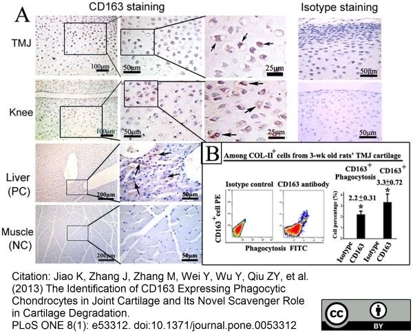 CD163 Antibody | ED2 gallery image 13