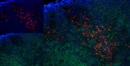 CD163 Antibody | ED2 thumbnail image 9