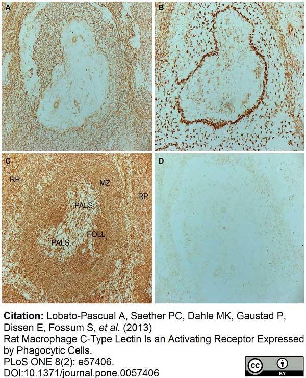 CD169 Antibody   ED3 gallery image 8