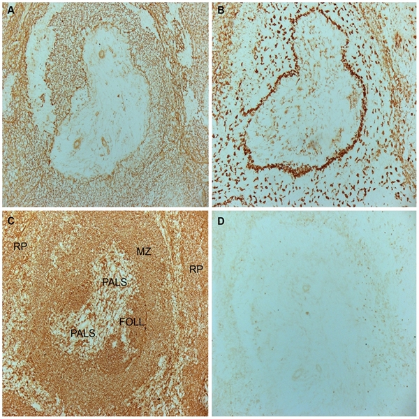 CD169 Antibody | ED3 gallery image 8