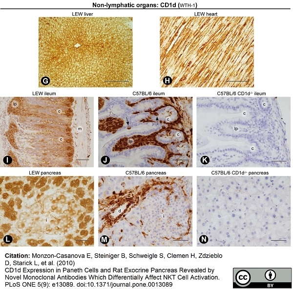 CD1d Antibody | WTH1 gallery image 6