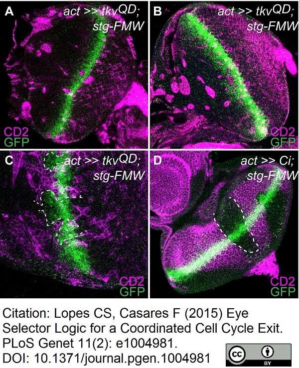 CD2 Antibody   OX-34 gallery image 9