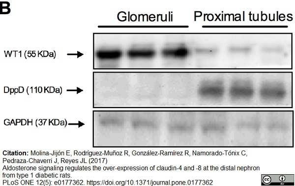 CD26 Antibody   OX-61 gallery image 5