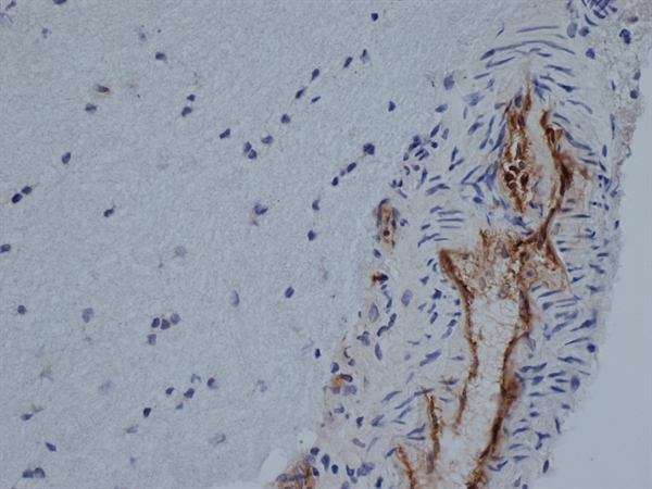 CD31 Antibody | TLD-3A12 gallery image 2