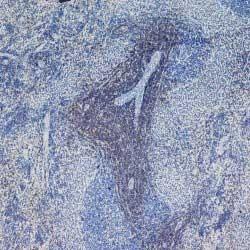 CD4 Antibody | W3/25 gallery image 9