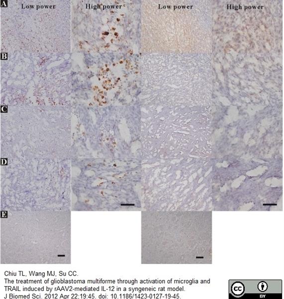 CD68 Antibody | ED1 gallery image 11