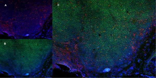 CD68 Antibody | ED1 gallery image 7