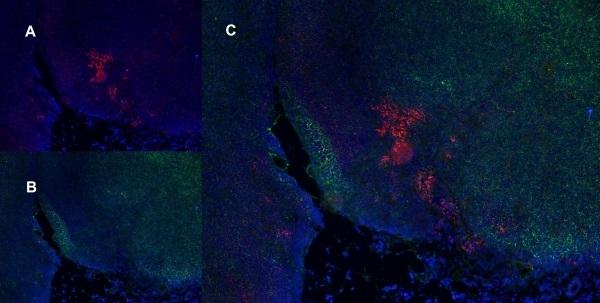 CD8 Alpha Antibody | OX-8 gallery image 10