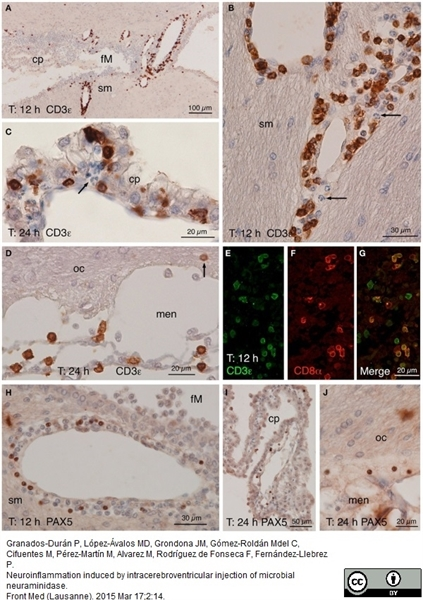CD8 Alpha Antibody | OX-8 gallery image 6