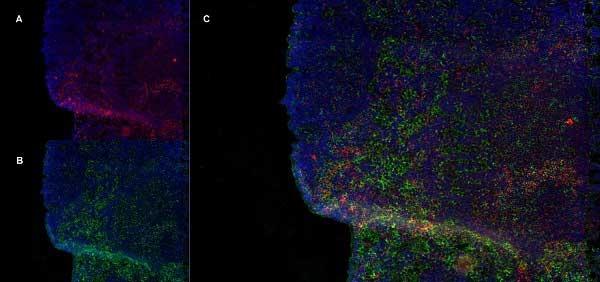 CD8 Beta Antibody   341 gallery image 5