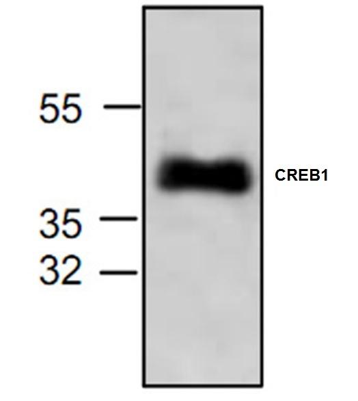 CREB1 Antibody gallery image 1