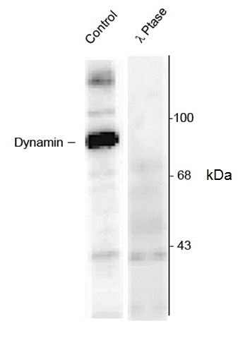 Dynamin (pSer774) Antibody gallery image 1