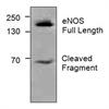 Enos Antibody thumbnail image 1