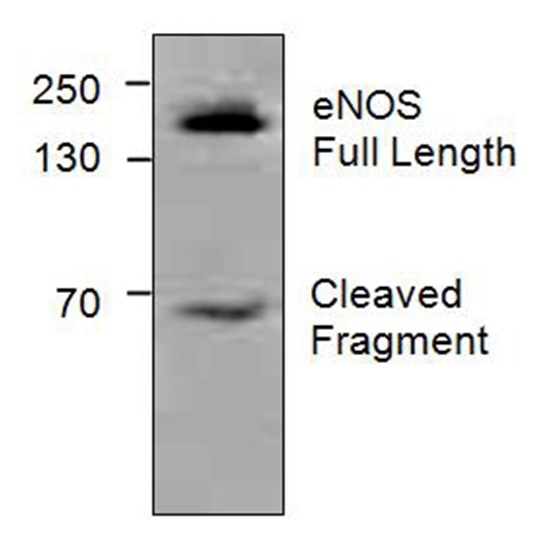 Enos Antibody gallery image 1