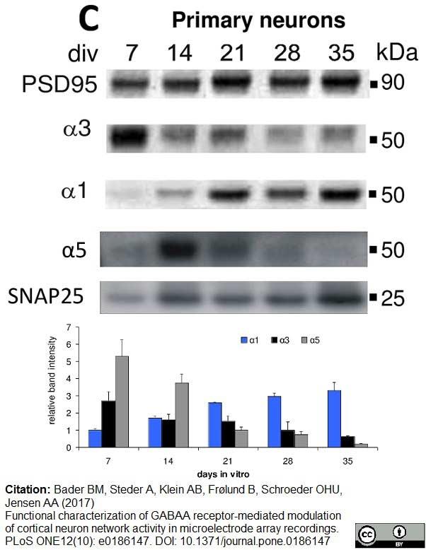 GABA A Receptor Alpha 5 Antibody gallery image 2
