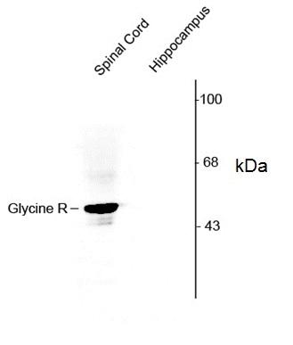 Glycine Receptor Alpha 1/2 Antibody gallery image 1