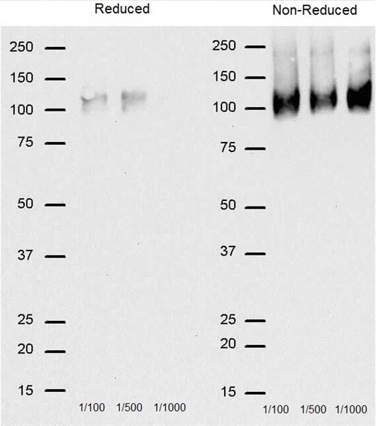 IgG Antibody gallery image 5