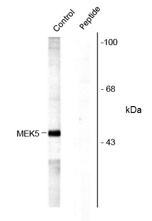 MEK 5 (pSer311/pThr315) Antibody gallery image 1