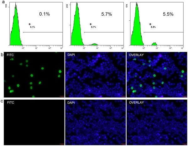 MHC Class I RT1Ac Antibody | OX-27 gallery image 6