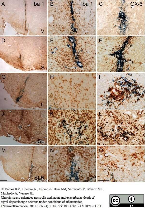 MHC Class II H-2I-Ak/s Antibody | OX-6 gallery image 14