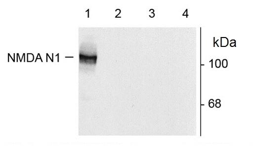 Nmdar/NR1/N1 Antibody gallery image 1