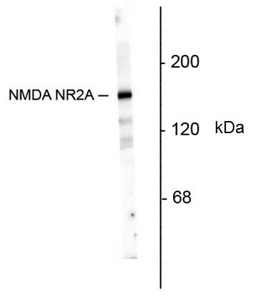 Nmdar NR2A Antibody gallery image 1