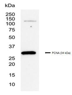 PCNA Antibody | PC10 gallery image 3