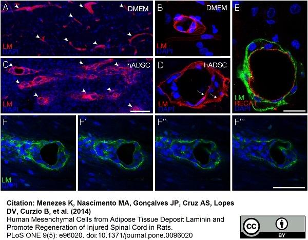 RECA-1 Antibody | HIS52 thumbnail image 12