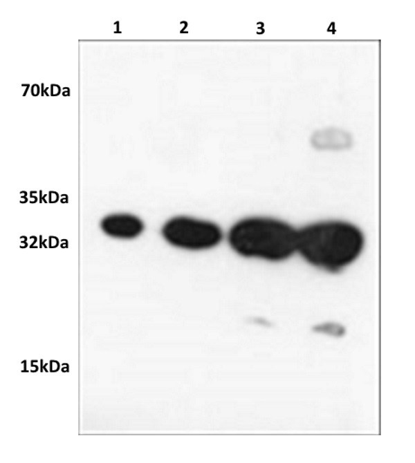 Red Fluorescent Protein Antibody gallery image 1