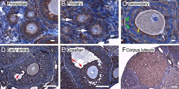 14-3-3 Beta Antibody gallery image 3
