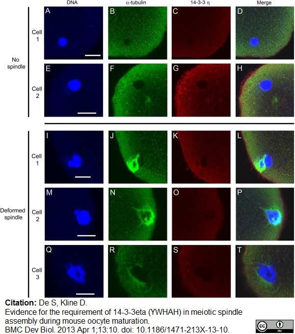 14-3-3 eta Antibody gallery image 11