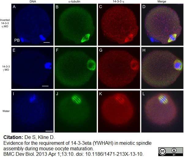14-3-3 eta Antibody gallery image 12