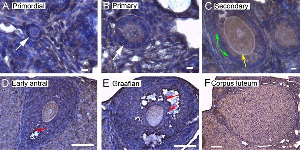14-3-3 Sigma Antibody gallery image 2