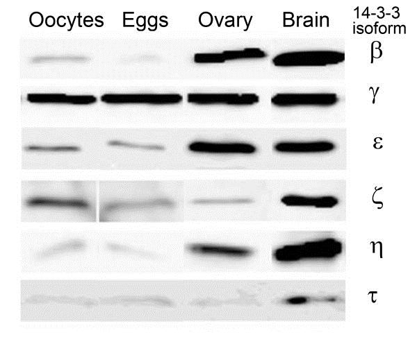14-3-3 tau/theta Antibody gallery image 1