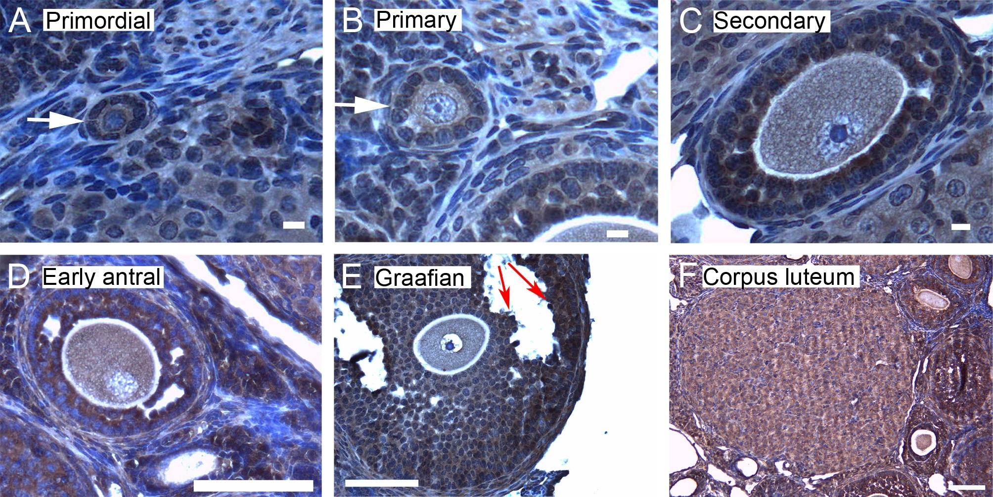 14-3-3 Zeta/Delta Antibody gallery image 4