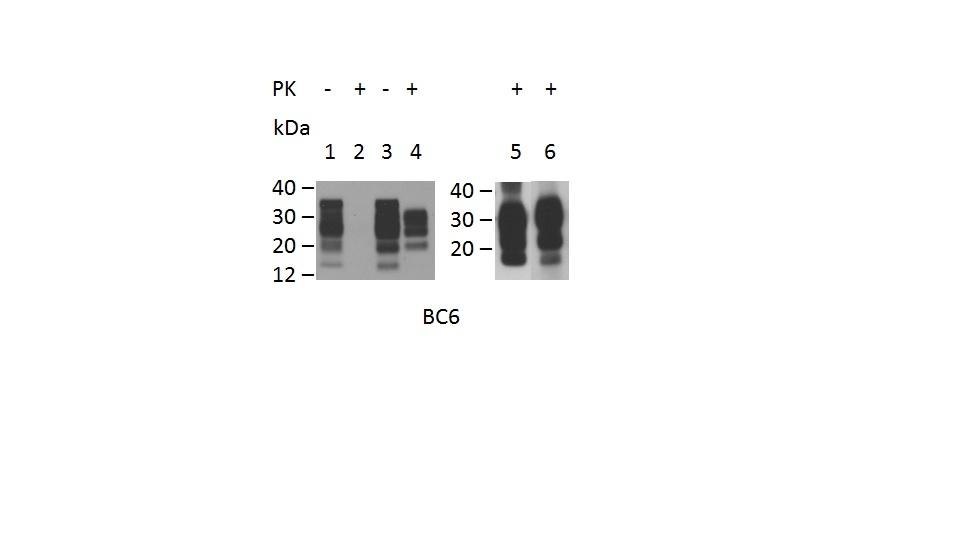 CD230 Antibody | ROS-BC6 gallery image 1