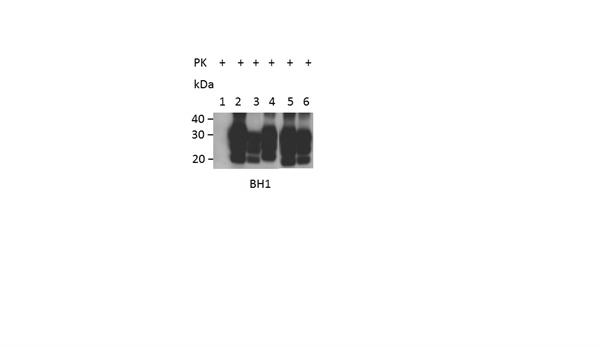CD230 Antibody | ROS-BH1 gallery image 3