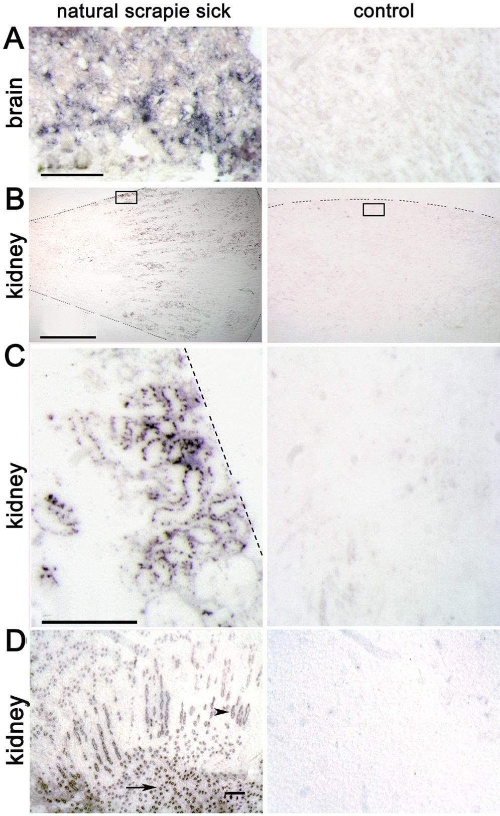 CD230 (Prpsc) Antibody | 2G11 gallery image 2
