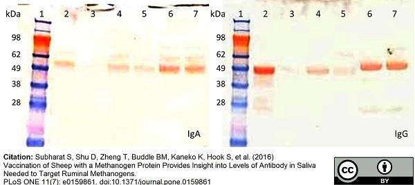 IgA Antibody gallery image 2