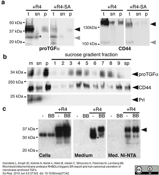 Prolactin Antibody gallery image 1
