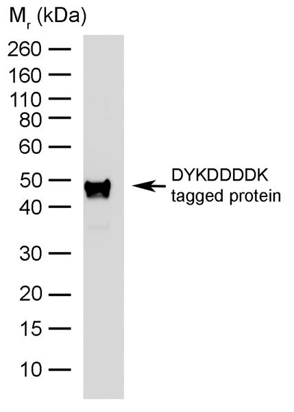 DYKDDDDK Tag Antibody | 6F7 gallery image 1