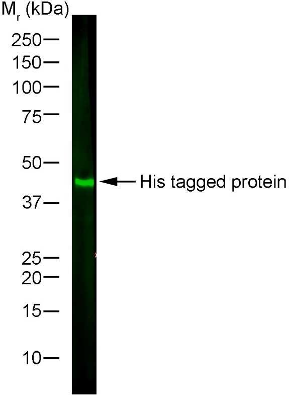 Histidine Tag Antibody | AD1.1.10 gallery image 5