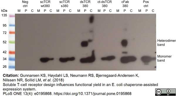Histidine Tag Antibody | AD1.1.10 gallery image 10
