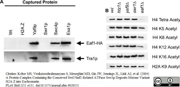 Histone H4 Ac8 Antibody gallery image 1