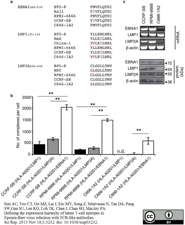 Epstein-Barr Virus Nuclear Antigen Antibody | E1-2.5 gallery image 1
