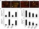 Herpes simplex Virus 1/2 Antibody thumbnail image 1