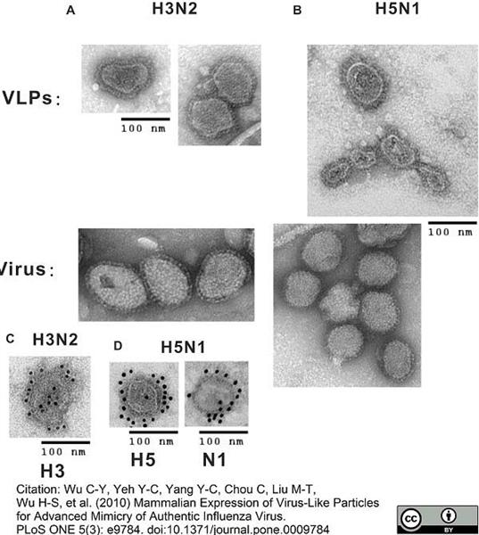 Influenza A H5 Antigen Antibody | 11A9 gallery image 2