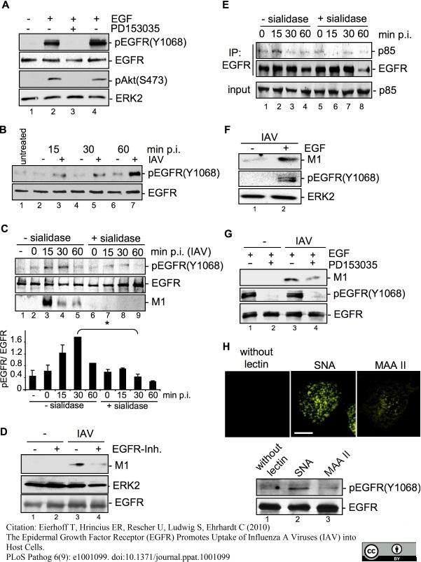 Influenza A Matrix Protein Antibody | GA2B gallery image 6
